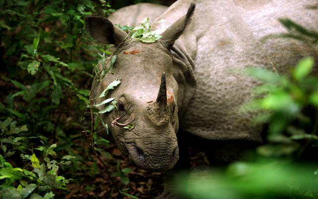 Непал-Читван-носорог