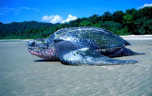 Никобарские острова.Кожистая черепаха