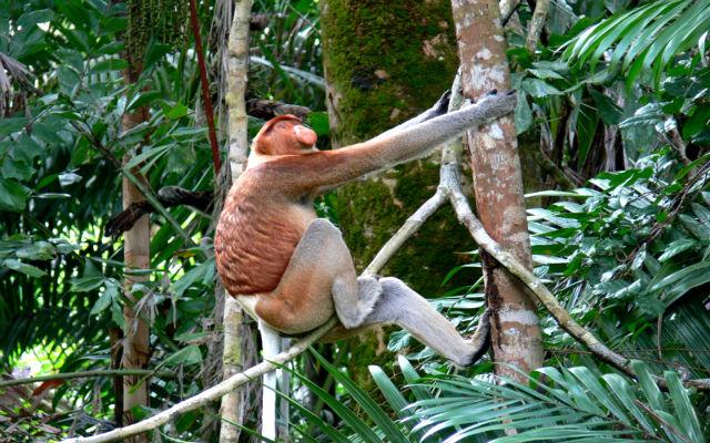 bako-proboscis-monkey