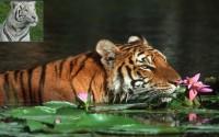 роль бенгальского тигра в Сундарбан Бангладеш
