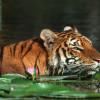 Сундарбан — дом королевского бенгальского тигра